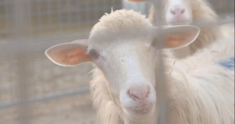 "Web conference ""Low-carbon Sheep Farming"" (26 giugno 2020)"